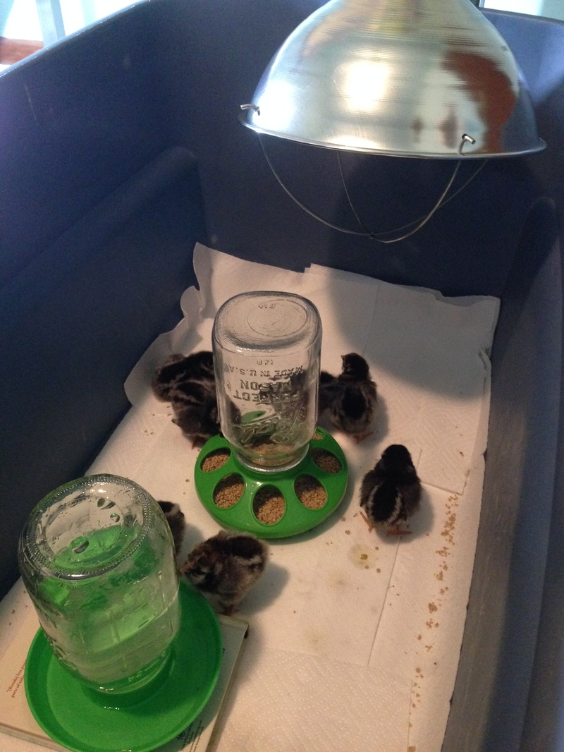 How to get started with raising chicks, the first week