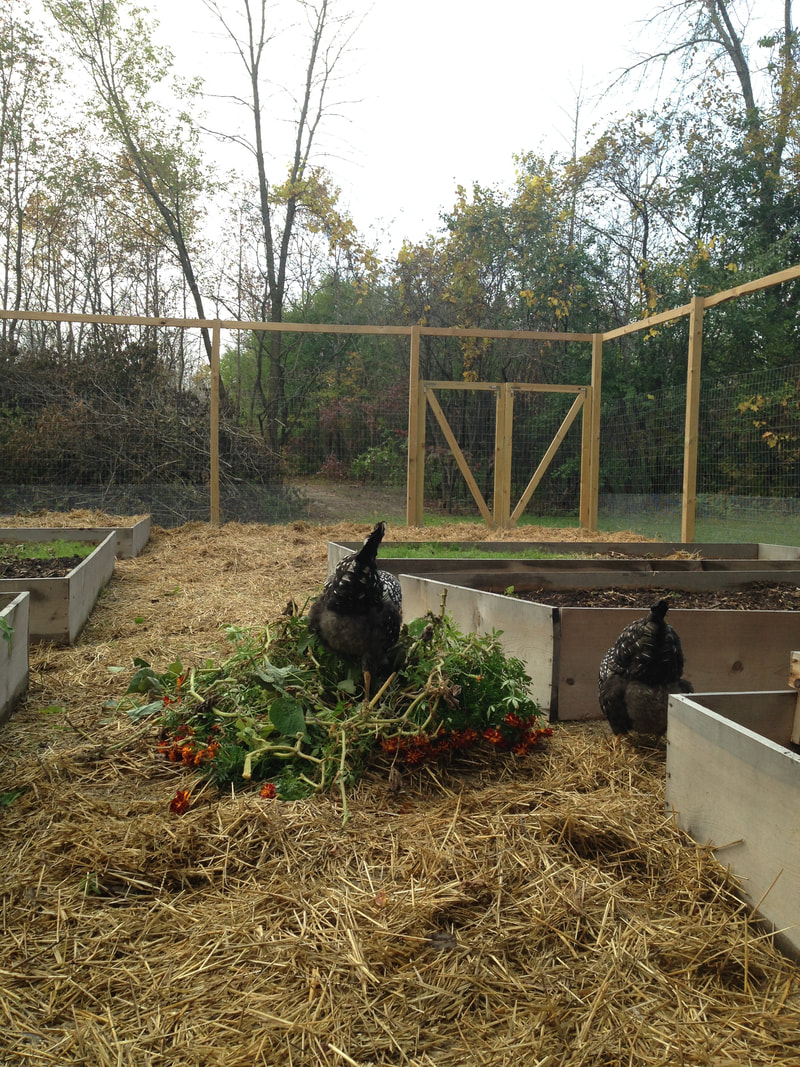 Chickens are cleaning up our garden at the end of the growing season