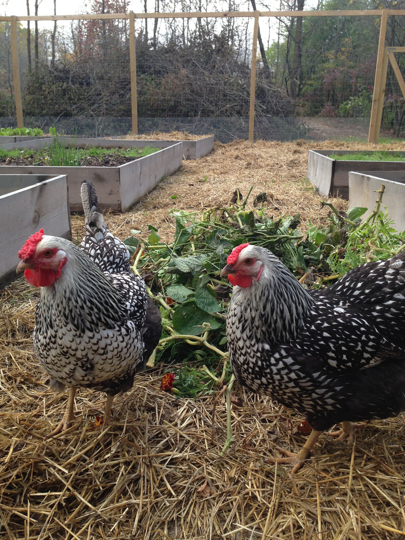 Silver Laced Wyandottes in our vegetable garden