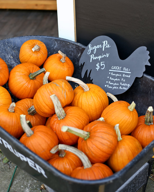 Organic sugar pie pumpkins for sale in Milwaukee WI by Green Willow Homestead, fall pumpkin display in a wheelbarrow