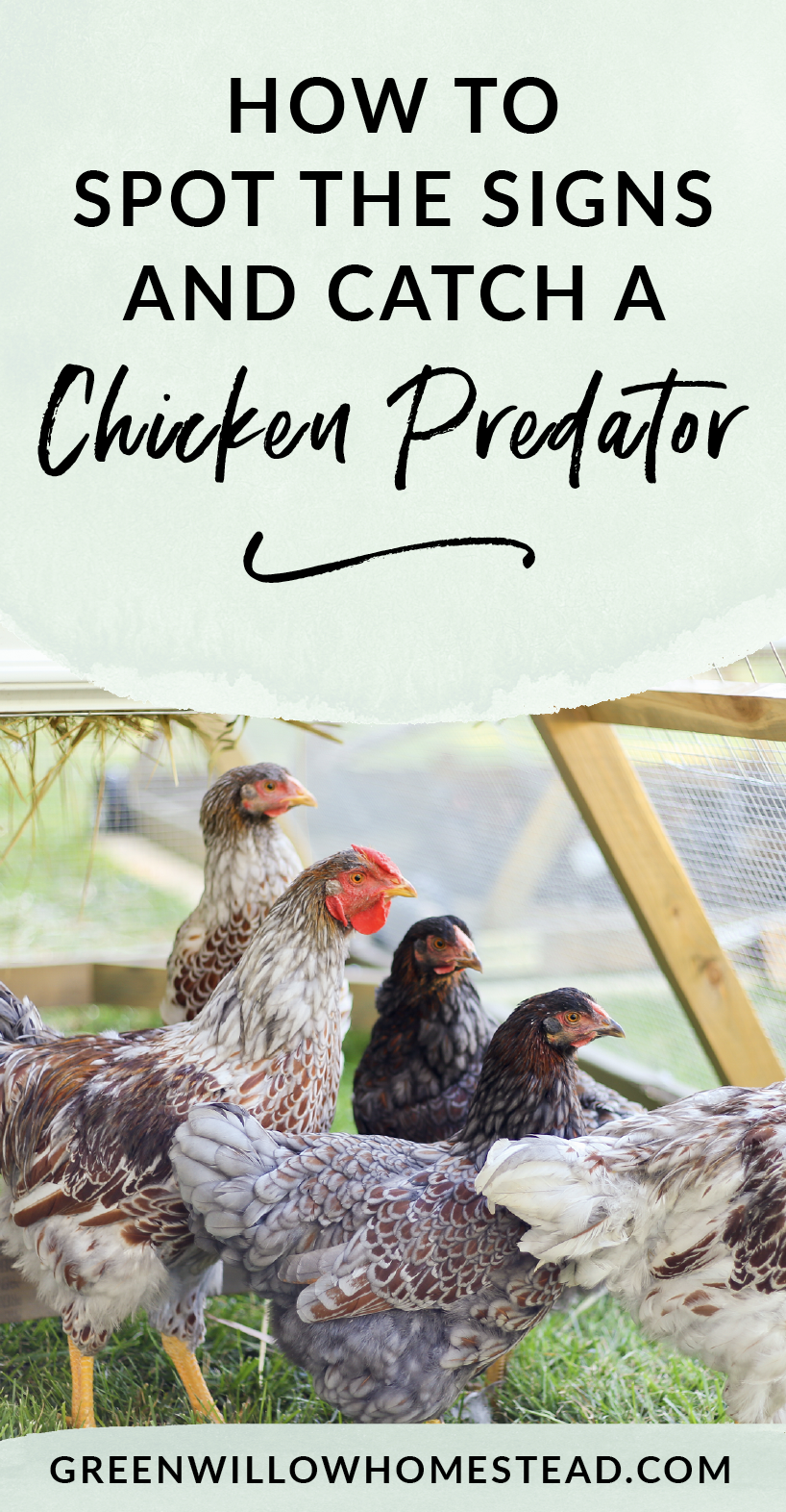 How to identify a chicken predator and then catch them or stop a chicken predator