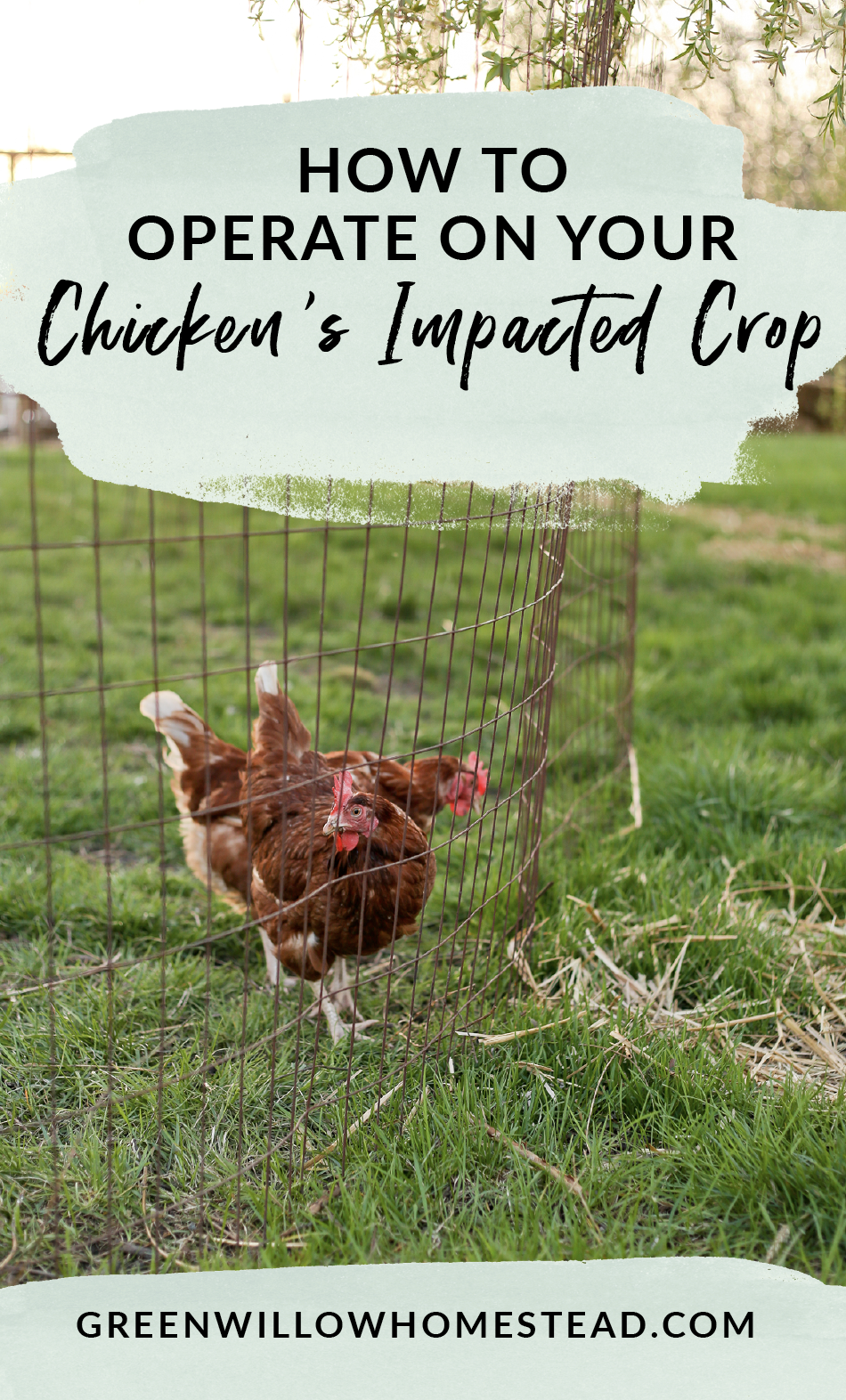 How to operate on your chicken with an impacted crop, spot the symptoms of impacted crop