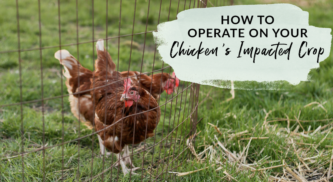 How to operate on your chicken if they have an impacted crop
