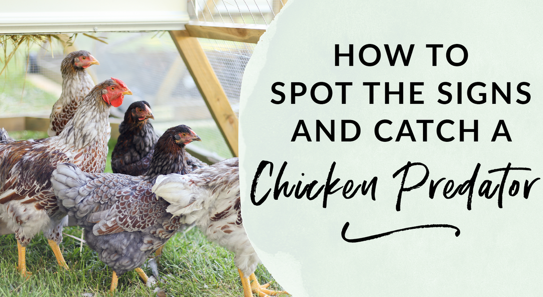 How to spot the signs and catch a chicken predator