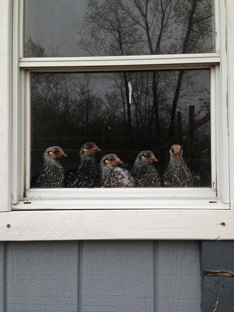 The peanut gallery looks out from their chicken coop window