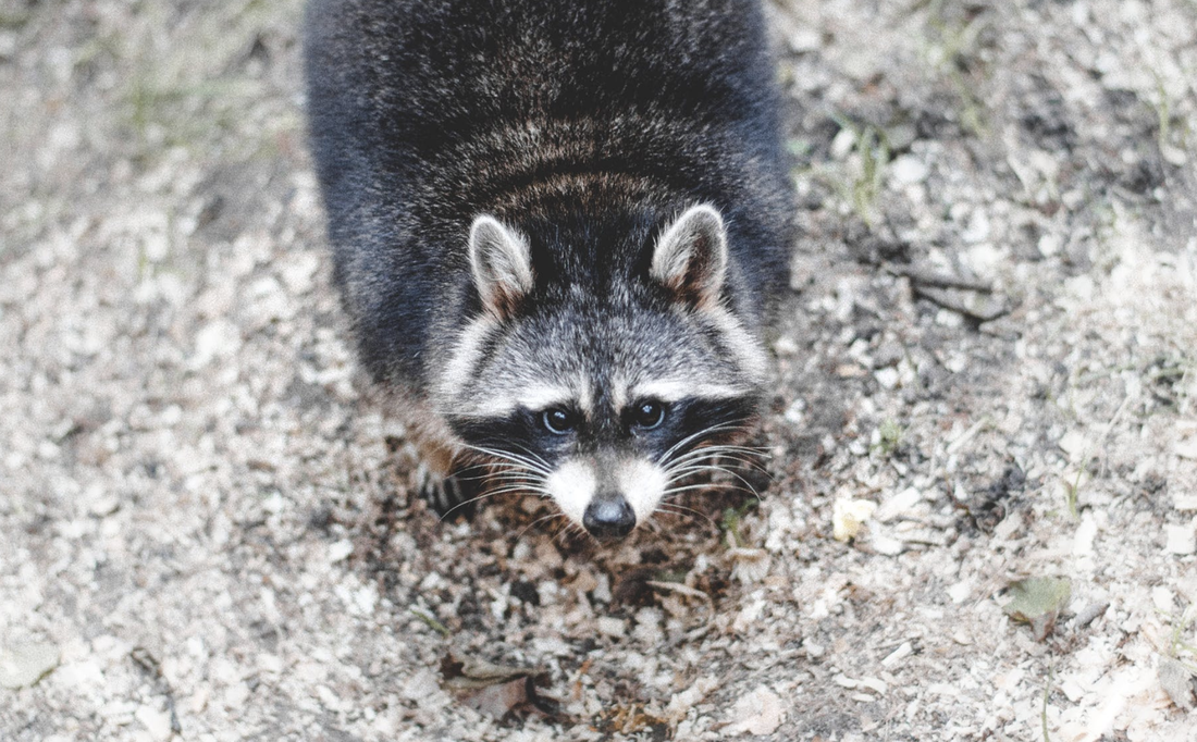 Raccoons, another common chicken predator